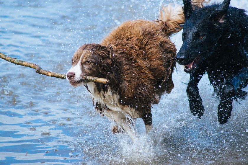 wet dogs playing photo-1456143077270-30de0a1bf7bc