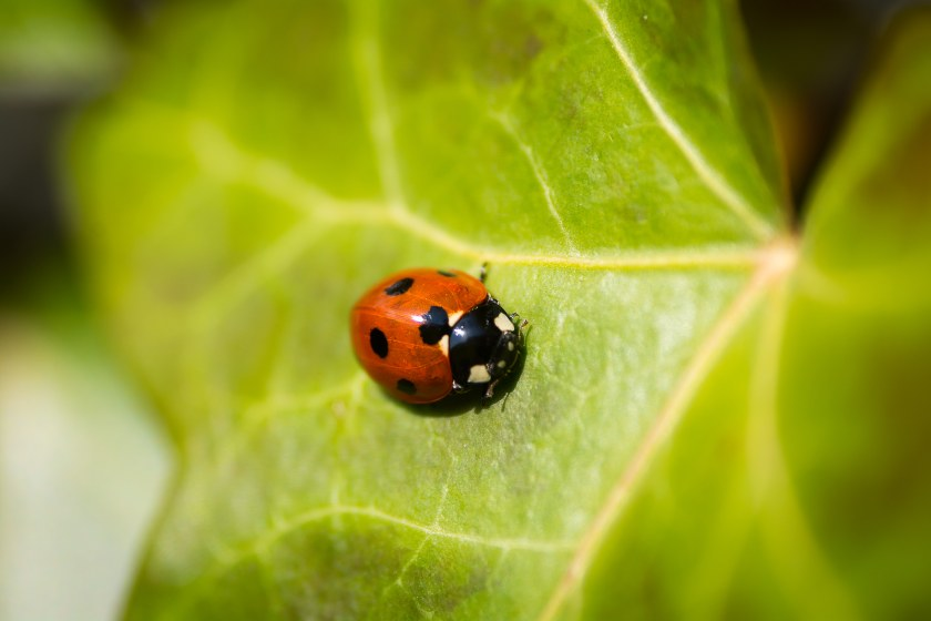 Lady Bug photo-1470317596697-cbdeda56f999