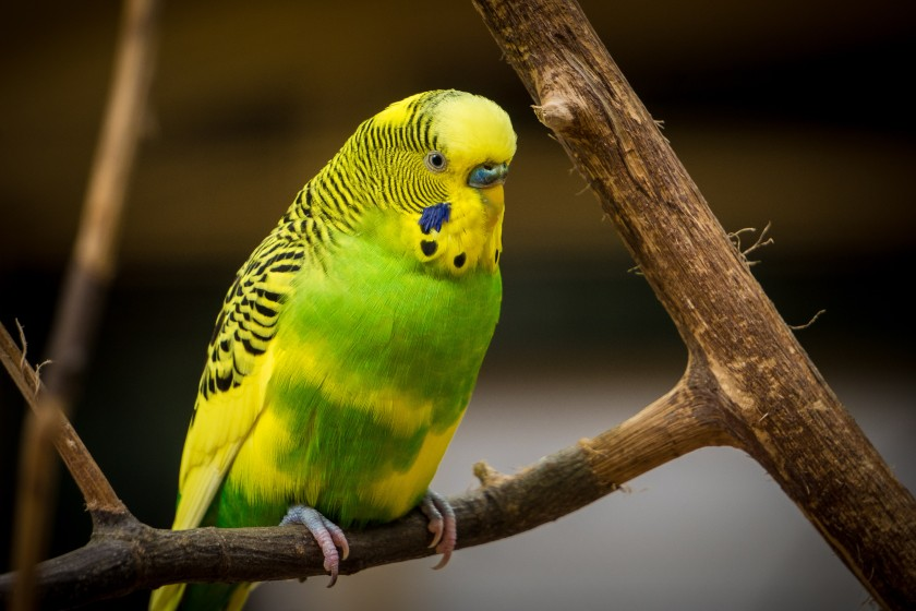 parakeet photo-1470662061953-318cd8c6c152.jpg
